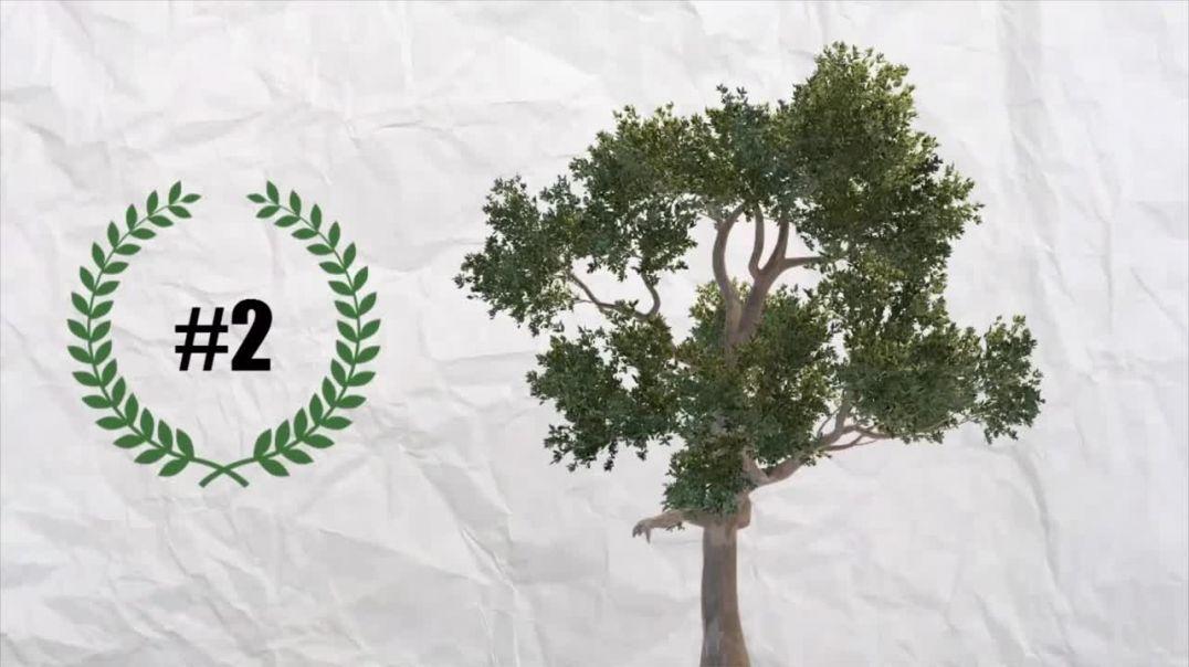 Какое самое высокое дерево в мире ?