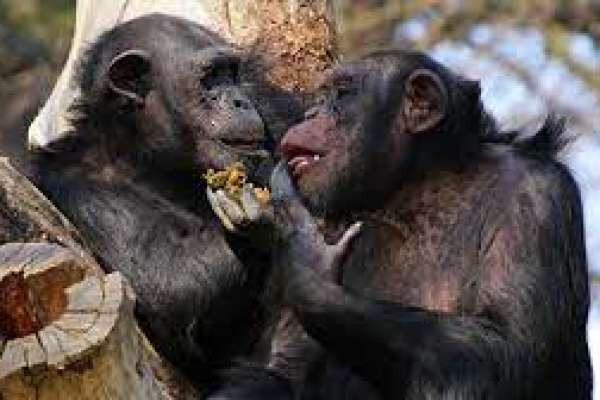 Shimpanze bilan Ishqiy munosabatlar uchun Ayolga Hayovonot bo'g'iga kirish taqiqlandi